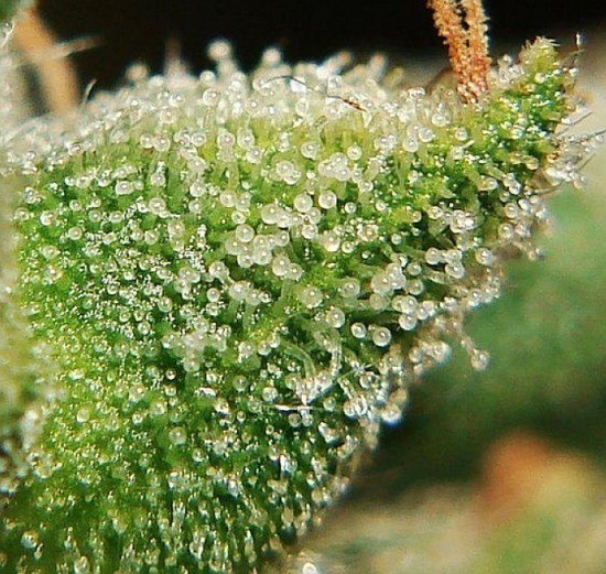 Picture of trichomes of a plant ready to cut