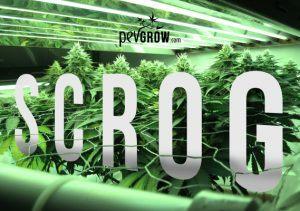Growing marijuana with the SCROG method