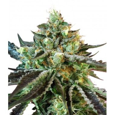 Sweet Nurse Auto CBD de Sweet Seeds