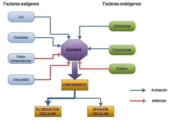 Los efectos concretos que producen las auxinas en las plantas