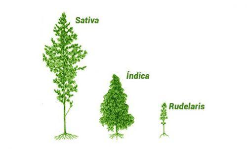 La marihuana puede clasificarse en tres tipos: índica, sativa y rudelaris.