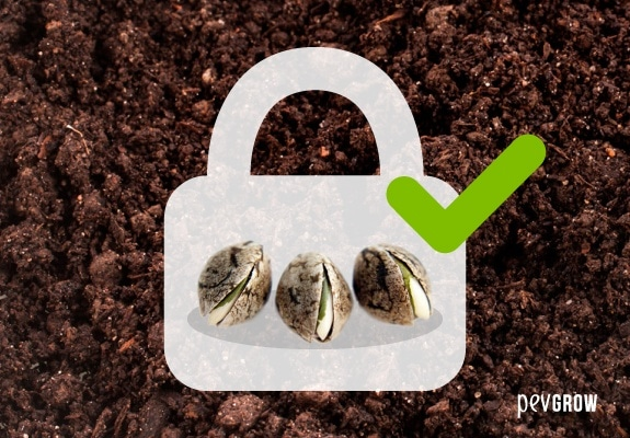 Te proponemos diferentes métodos para germinar semillas de marihuana