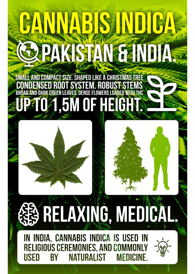 Infography Marijuana Indica