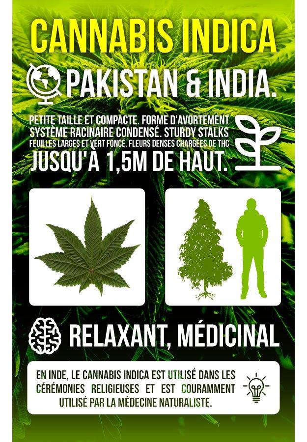 Infographie Marijuana Indica