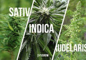 Types of marijuana plants