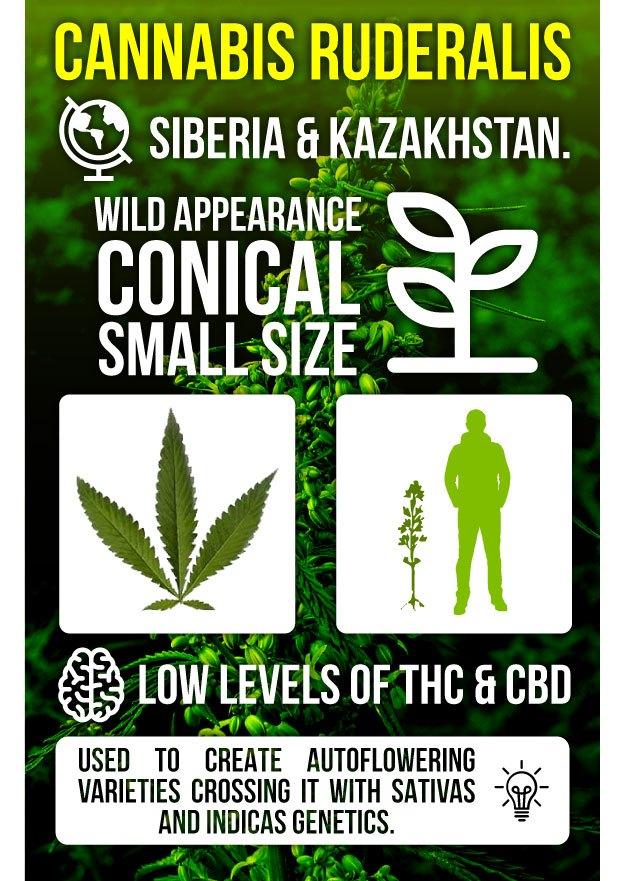 Infography Marijuana Ruderalis