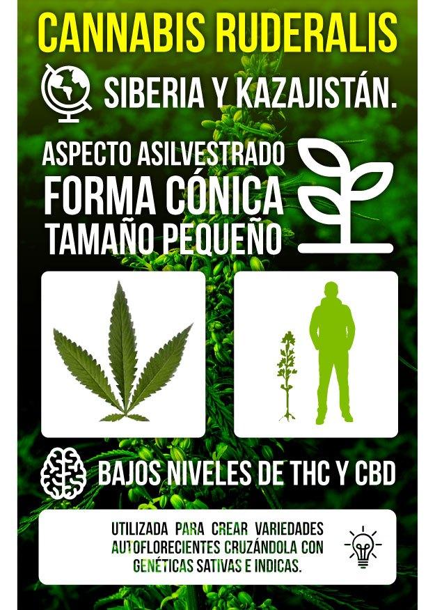 Infografía Marihuana Ruderalis