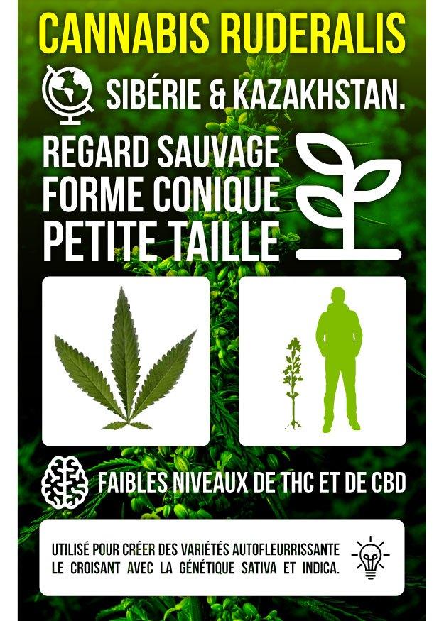 Infographie Marijuana Ruderalis