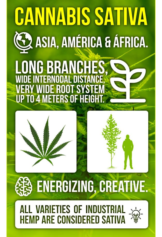 Infography Marijuana Sativa