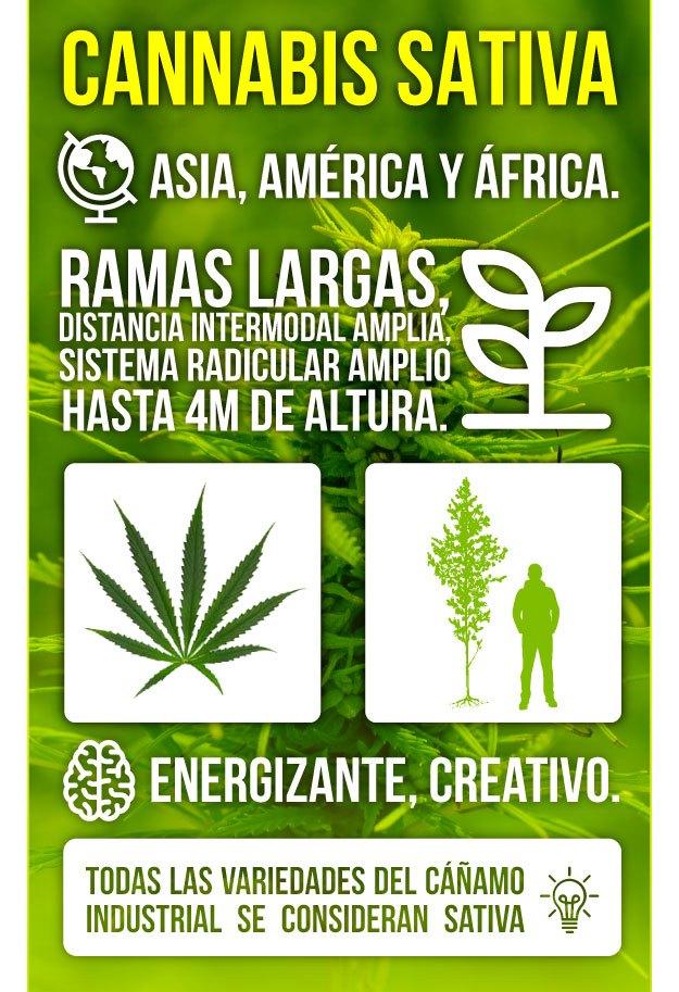 Infografía Marihuana Sativa