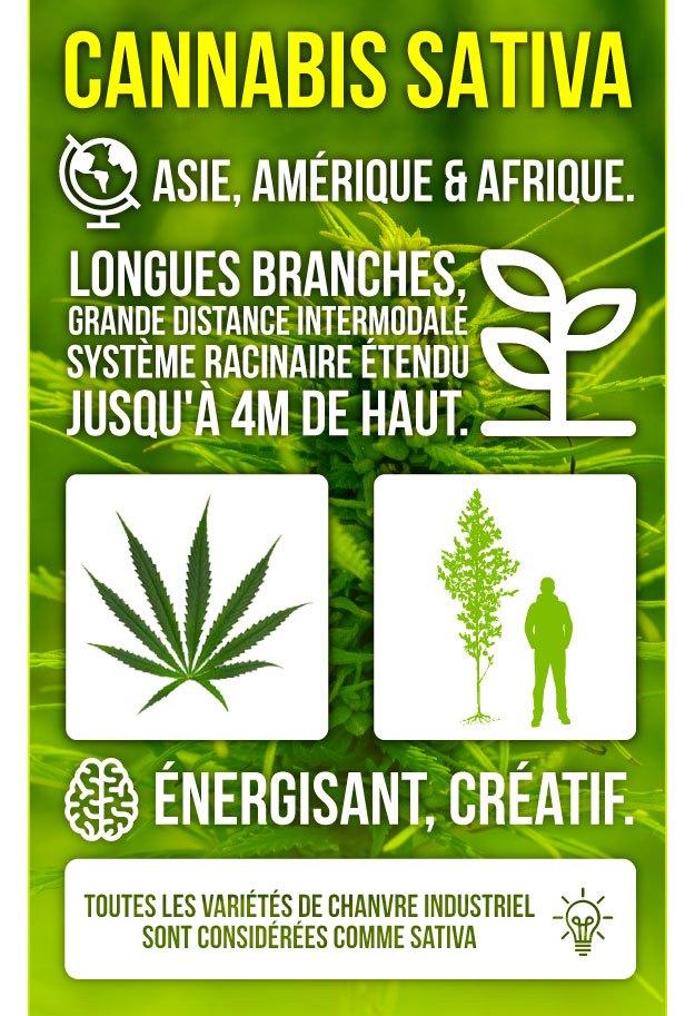 Infographie Marijuana Sativa