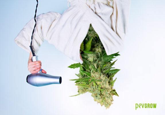Étapes à suivre pour le séchage et le traitement du cannabis