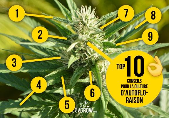 Cultiver des variétés autofloraison de cannabis