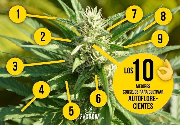 Cultivar variedades de marihuana autoflorecientes