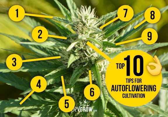 Growing autoflowering cannabis varieties