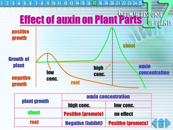 The specific effects of auxins on plants