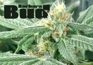 Barbara Bud: therapeutic and resinous seeds