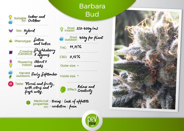 Characteristics of the Barbara Bud variety