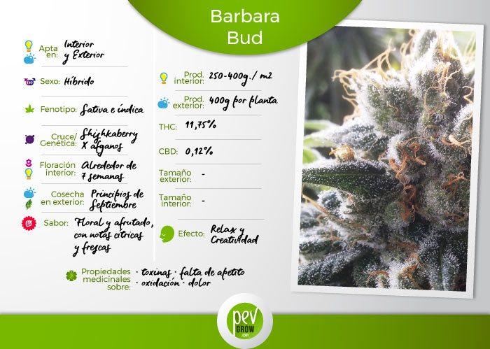 Caracteristicas de la variedad Barbara Bud