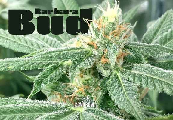 Barbara Bud, therapeutic and very resinous seeds