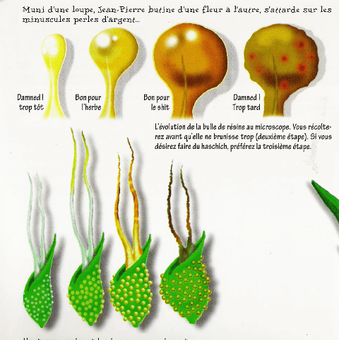Maturation de la fleur de cannabis en observant les pistils, situés dans les calices. On peut voir que sa maturité suit le rythme de dégradation de la résine dans les trichomes type stalked.