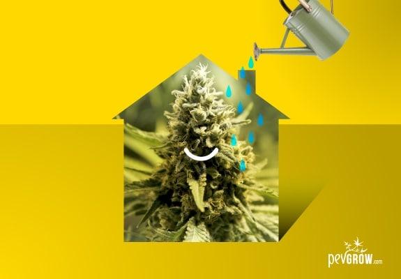L'eau d'irrigation, clé pour la culture de cannabis en intérieur