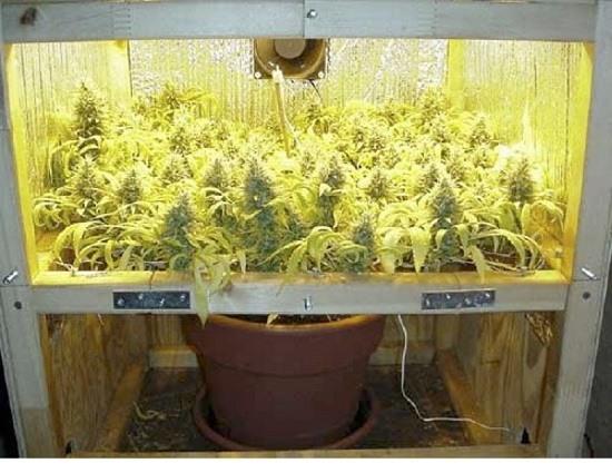Plante de cannabis avec maille scrog incorporée, cultivée en pot de 25 L.