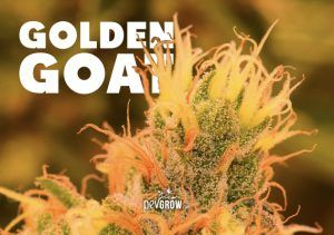 Golden Goat