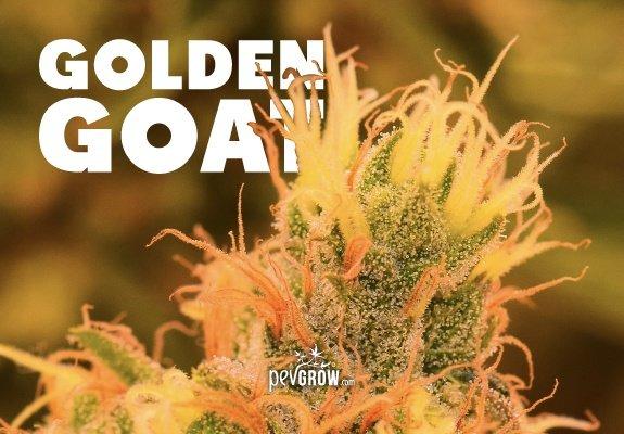 Variedad de cannabis Golden Goat