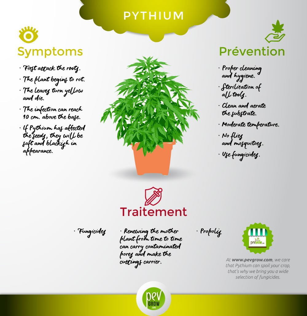 The Pythium fungus characteristics