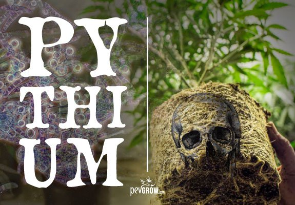 What is pythium? Causes and prevention of this fungus
