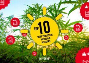 Top 10 Most Productive Marijuana Outdoors