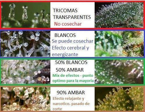 Aspect and psychoactive quality of cannabis resin in their stalked trichomes.