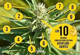 10 Consejos para cultivar autoflorecientes