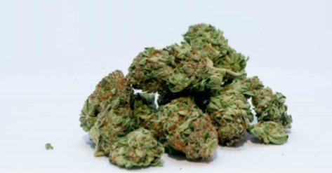 Bourgeons de cannabis