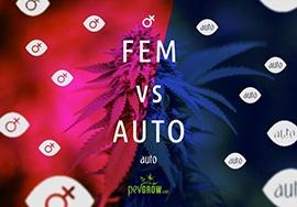 Semillas de marihuana feminizadas o autoflorecientes