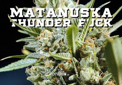 Matanuska Thunder Fuck, gran nombre para una gran hierba