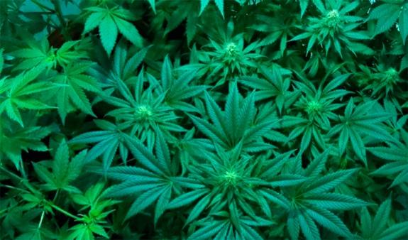 Plantes de marijuana