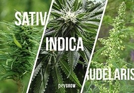 Types of marijuana plants: Sativa, Indica, Ruderalis