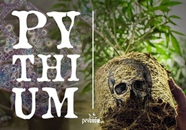 What is Pythium