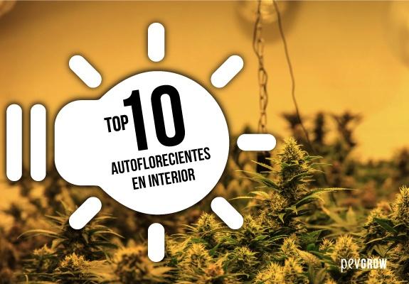 TOP 10 Autoflorecientes en Interior