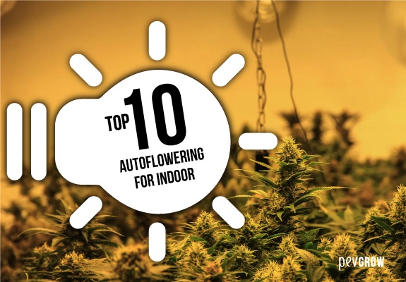 The 10 best autoflowering strains for indoor use
