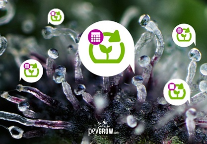 The Trichomes, the natural marker for harvesting