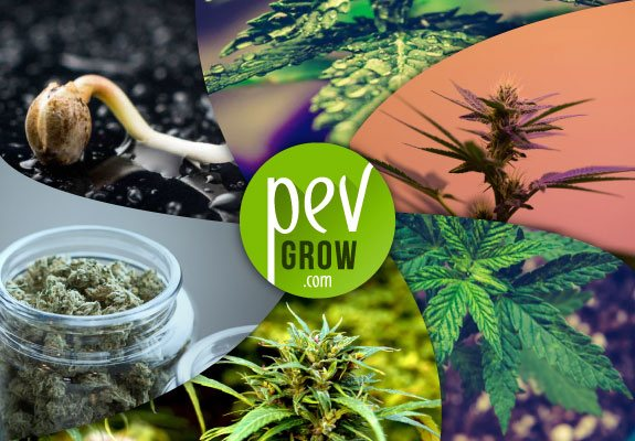 Manual de cultivo de marihuana