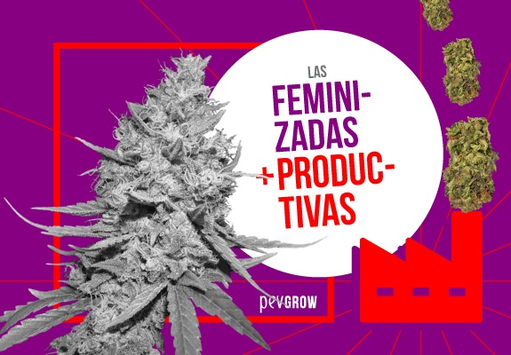 Las plantas de marihuana más productivas