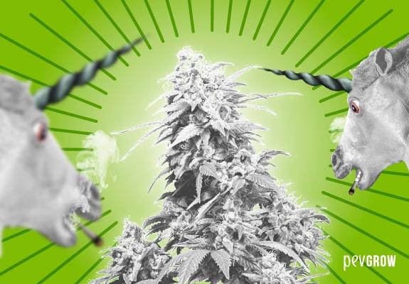 White marijuana, myth or reality?