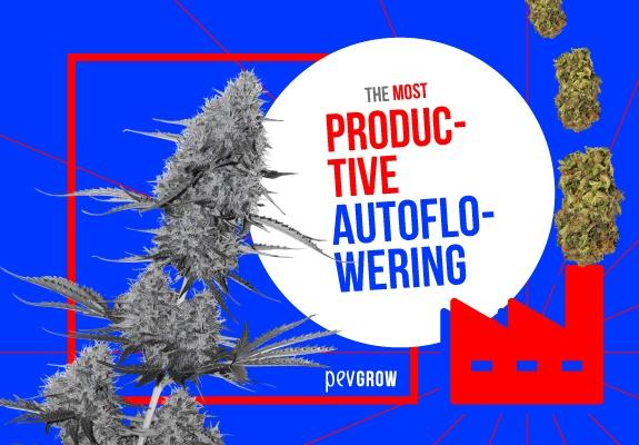 The most productive autoflowering plants