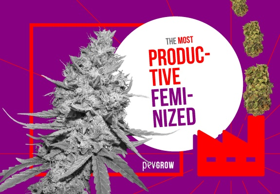 HHere are the best feminized cannabis plants to grow
