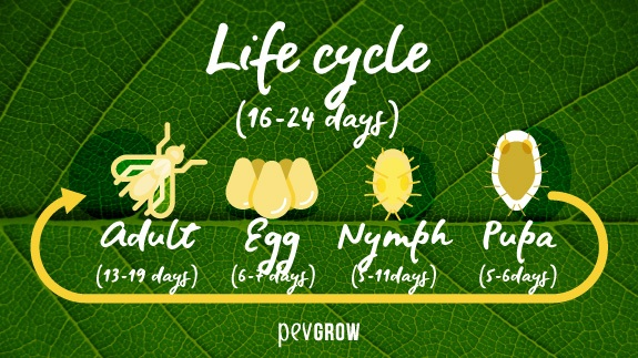Whitefly Life Cycle
