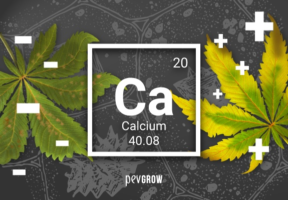 🥇 ▷ Lack or excess of calcium in your marijuana plant